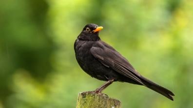 Blackbird34